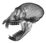 X-ray image of an open vervet monkey skull and jaw (black on white) by Jim Wehtje, specialist in x-ray art and design images.
