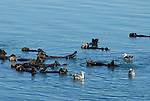 raft of sea otters and gulls