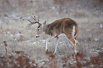 Whitetail Buck Making a Scrape