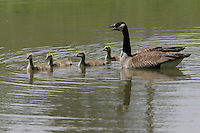 Geese with babies on assignment in Keswick, VA. Photo by Andrew Shurtleff