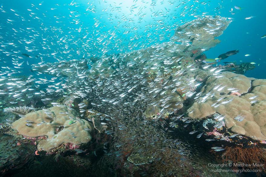Nilandhoo Giri, Nilandhoo Island, Huvadhoo Atoll, Maldives; a large school of Tapered-line Cardinalfish (Apogon fraenatus) or glassfish, swimming over colonies of Porites sp. corals on the reef