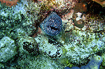 (2004)- Moray Eel- Soufriere Scott's Head Marine Reserve,  Commonwealth of Dominica.