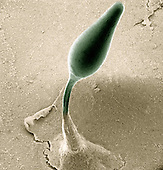 Cellular Slime Mold (Dictyostelium discoideum) rising on a slender stalk from the basal disc before it produces a mature fruiting body or sporangium. SEM X180.  **On Page Credit Required**