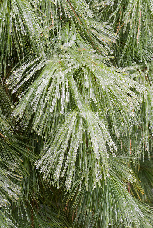 Pinus strobus in winter snow ice