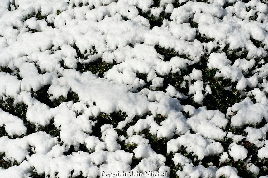 Fresh snow on a green bush in winter