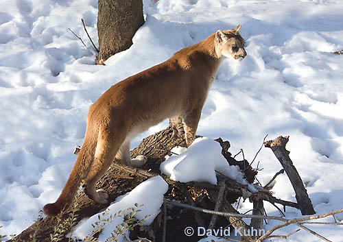 0218-1013  Mountain Lion (Cougar) in Snow, Puma concolor (syn. Felis concolor)  © David Kuhn/Dwight Kuhn Photography.