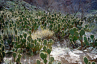 OPUNTIA CACTUS<br /> Prickly Pear Cactus<br /> Prickly pear cactus represent about a dozen species of the Opuntia genus (Family Cactaceae) in the North American deserts. All have flat, fleshy pads that look like large leaves.