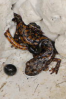 Strinati's Cave Salamander (Speleomantes strinatii) mother carrying young on her back and guarding an egg. Endemic, Italy