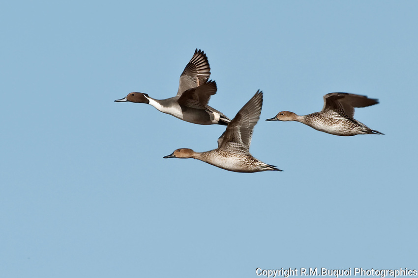 Group of Northern Pintails in flight at Bosque Del Apache NWR