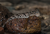 More comfortable out of the water than submerged, a Barred Mudskipper, Periophthalmus argentilineatus, perches on a rocky shoreline. Viti Levu, Fiji, Pacific Ocean