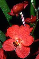 Aranda aka Mokara Redland Sunset 'Robert', AM/AOS, awarded orchid hybrid, vandaceous. ( Aranda Singapura x Vanda Yip Sum Wah, 1983)