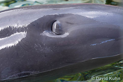 1029-1005  Common Bottlenose Dolphin, Detail of Closed Blowhole, Tursiops truncatus  © David Kuhn/Dwight Kuhn Photography