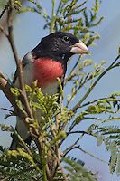 538740055 a wild male rose-breasted grosbeak perches in a small flowering tree on south padre island off the coast of texas