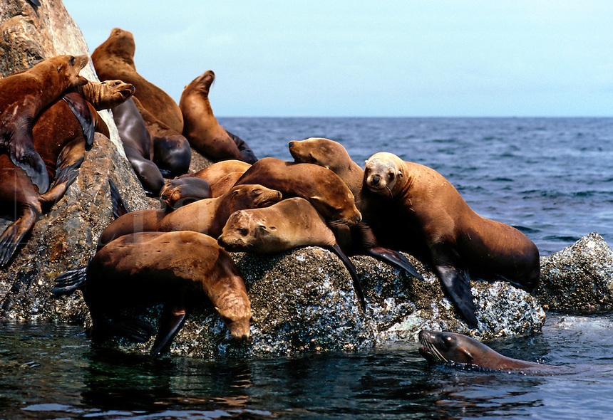California sea lions, Zalophus californianus, are highly gregarious and easily trained.  They have become the most familiar of the pinnideds in the world.  This shot was taken off a marina breakwall in Monterey California, USA.