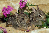 Two baby rabbits sit on rock in the midst of pink flowers