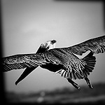 Pelican trying to land, Bolsa Chica, CA.