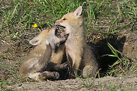 Pair of Red Fox Kits wrestling at the entrance to their den