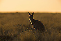 Australia,  NSW, Sturt National Park; red kangaroo female (Macropus rufus) in grassland; the red kangaroo population increased dramatically after the recent rains in the previous 3 years following 8 years of drought