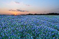 This was aother  nice big field of bluebonnet along the river on the north side of the river, which we photographed as the sunset set in the Texas Hill Country.  It was a nice sky with this great field of blue.