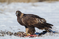 Golden eagle feeding on canada goose in Wyoming during winter