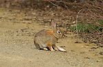 Rabbit, Desert Cottontail, Audubon's Cottontail, Descanso Gardens, Southern California