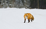 A red fox walks in the snow near the forest edge in Jasper National Park, Alberta Canada.