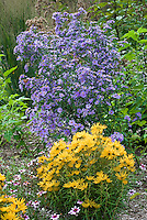 Helianthus salicifolius 'Low Down' + Aster laevis 'Bluebird' in fall flowers aka Symphyotrichum laeve 'Bluebird', Tall and short plants together, showing heights in the garden