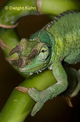 CH35-535z  Male Jackson's Chameleon or Three-horned Chameleon, close-up of face, eyes and three horns, Chamaeleo jacksonii