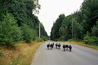 Runaway Black Sheep (Ovis aries) running along Country Road on Saltspring (Salt Spring) Island, Southern Gulf Islands, BC, British Columbia, Canada