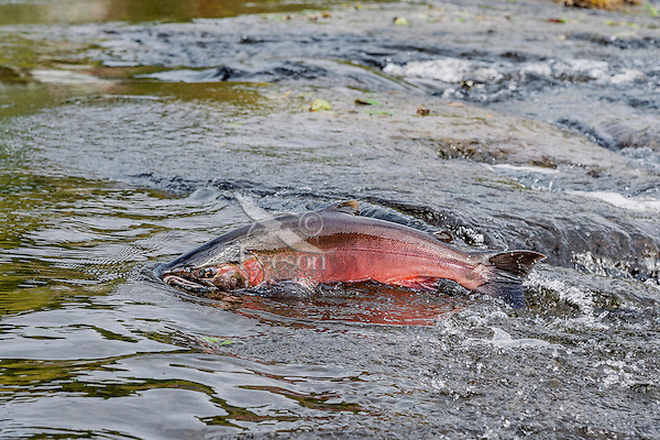 Male Coho or Silver Salmon (Oncorhynchus kisutch) on fall spawning migration, swimming up shallow river.  Pacific Northwest.  October.  Wild fish not hatchery fish.