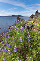 Lupine wildflowers grow along the coastal shores of Ambercrombie State Park in Kodiak, Alaska.