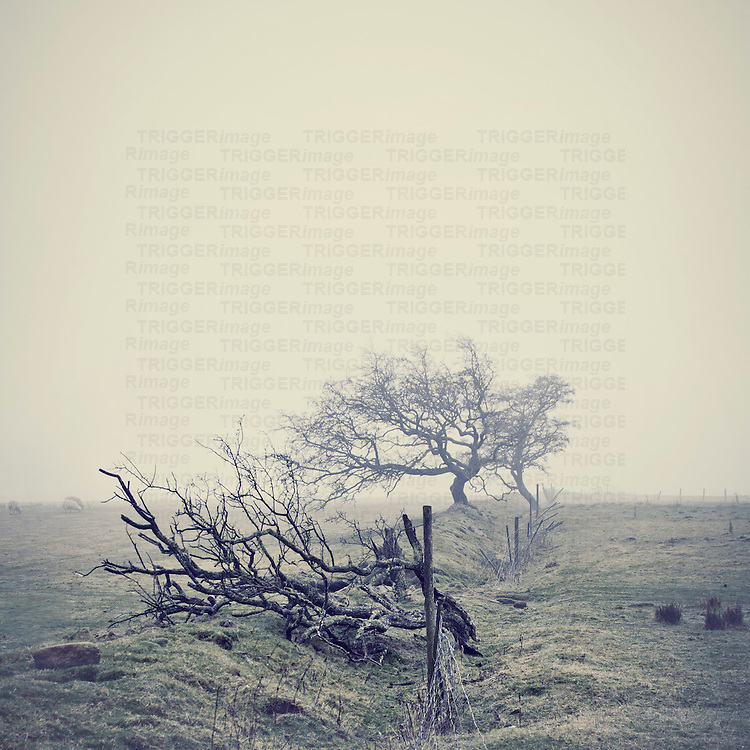Atmospheric shot of trees and sheep in very thick fog.