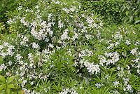 Choisya 'Aztec Pearl' white flowering shrub bush in spring bloom, May
