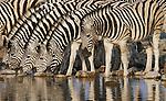 Plains zebras, Ongava Reserve, Namibia