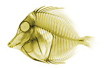 X-ray image of a yellow tang fish (color on white) by Jim Wehtje, specialist in x-ray art and design images.