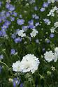 Scabiosa caucasia perfecta 'Alba' and 'Blue', early August.