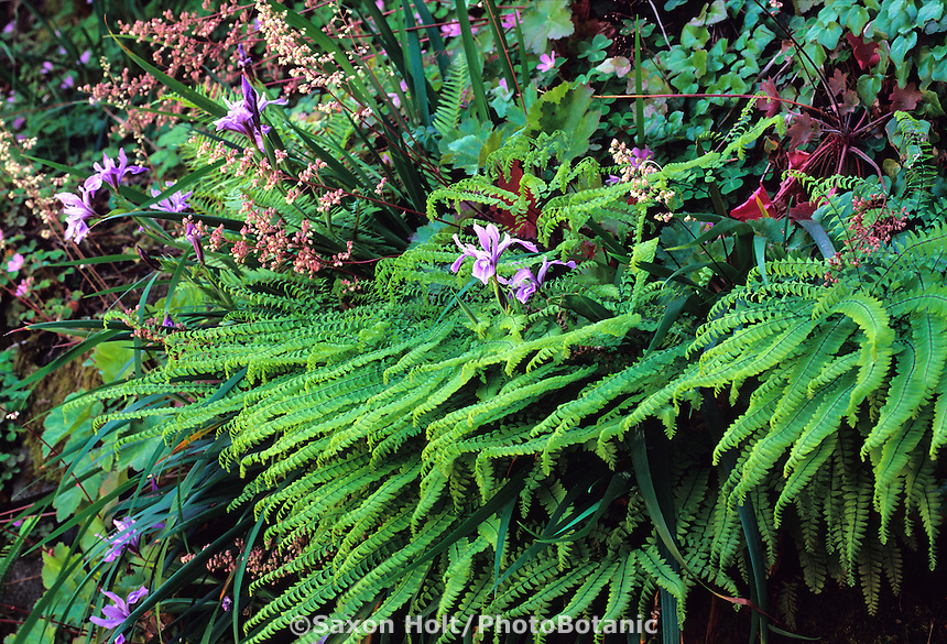 Adiantum aleuticum (A. pedatum aleuticum) (Five-Finger Fern, Western Maidenhair Fern)
