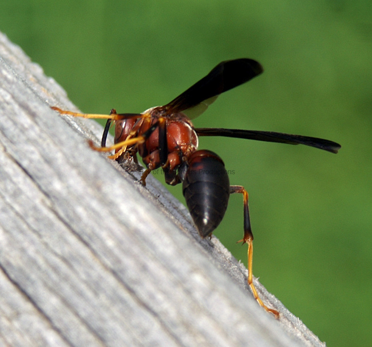 brown paper wasp Wasps are unfriendly guests pretty much everywhere over at household hacker, they recommend using a brown grocery sack to trick wasps into staying away.