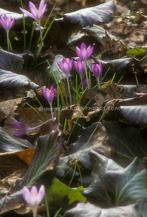 Crocus tomassinianus spring bulbs peep out amid Bergenia Abendglut foliage leaves