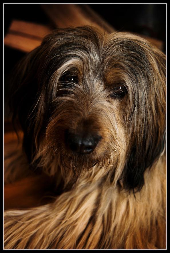 Nederland, Driebergen, 4 maart 2014<br /> Rasta, langharige hond. Soort schapenhond.<br /> Foto(c): Michiel Wijnbergh