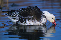 537296214 a wild adult blue phase snow goose chen caerulescens feeds in a small reed filled pond at bosque del apache national wildlife refuge new mexico united states