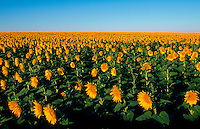 A field of sunflowers stretches into the horizon nder a wide, blue sky in this scenic agricultural landscape.