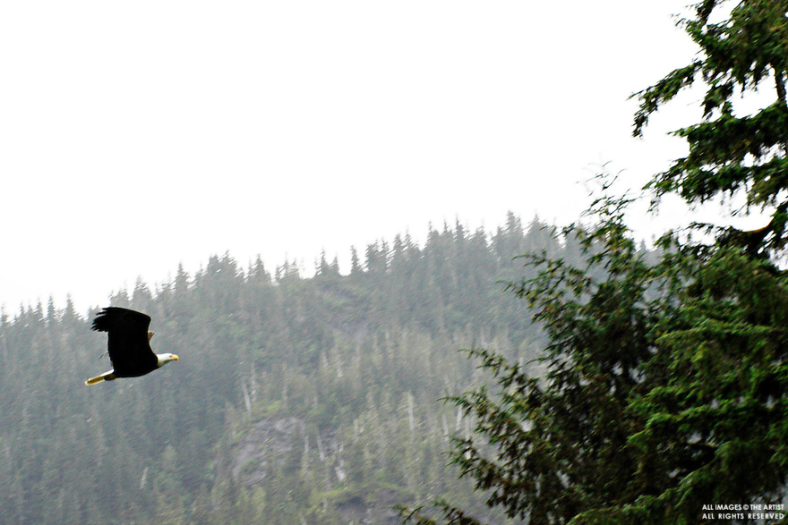 A bald eagle prepares to land on a tree branch along the shore of the Kildala  River, British Columbia, June 20, 2009. (Robn Rowland)