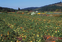Tomato vegetable patch in agricultural field of ripe red and green tomatoes under sunny blue sky and hills