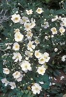 Autumn perennial flowers Anemone x hybrida 'Honorine Jobert' aka alba in white blooms with yellow centers . 2016 Perennial Plant of the Year™