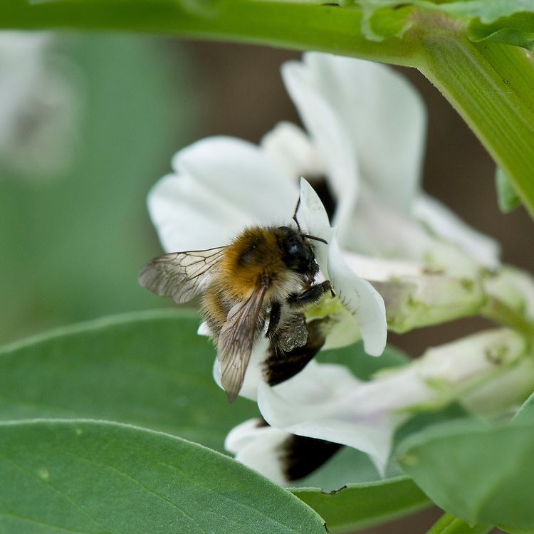 Bee collecting pollen from the flowers of broad bean plants, early June.