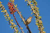 590460011 a wild bell's vireo vireo belli arizonae perches on an ocotillo plant in the madera canyon grasslands area east of green valley arizona