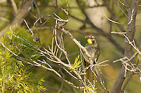Yellow-throated Honeyeater (Lichenostomus flavicollis), endemic, Tasmania, Australia