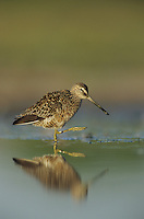 Long-billed Dowitcher, Limnodromus scolopaceus,adult spring plumage, Welder Wildlife Refuge, Sinton, Texas, USA
