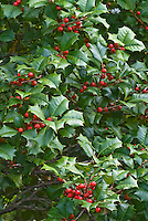 Ilex opaca 'Miss Helen' Holly in autumn fall berries berry